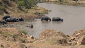 Os hipopótamos selvagens africanos andam no rio para refrigerar fora em um dia quente filme