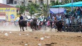 Os homens não identificados controlam seu búfalo para correr em um esporte de competência Imagens de Stock