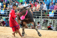 Os homens não identificados controlam seu búfalo para correr em um esporte de competência Fotografia de Stock