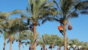Os homens são datas de colheita em palmeiras Os fazendeiros colhem datas maduras da exploração agrícola da data vídeos de arquivo