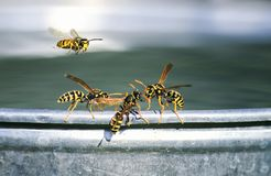 os insetos perigosos, vespas estão na borda de uma cubeta e de uma luta do metal para a água imagens de stock royalty free