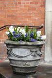 Os jacintos brancos e as violetas azuis que crescem em um grande vaso cerâmico como uma decoração da entrada à igreja contra o CC Fotos de Stock Royalty Free