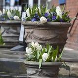 Os jacintos brancos e as violetas azuis que crescem em um grande vaso cerâmico como uma decoração da entrada à igreja contra o CC Fotos de Stock