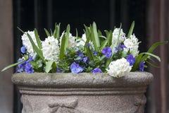 Os jacintos brancos e as violetas azuis que crescem em um grande vaso cerâmico como uma decoração da entrada à igreja contra o CC Foto de Stock Royalty Free