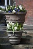 Os jacintos brancos e as violetas azuis que crescem em um grande vaso cerâmico como uma decoração da entrada à igreja contra o CC Foto de Stock