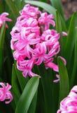 Os jacintos cor-de-rosa (hyacinthus) são uma da primeira mola bonita Foto de Stock Royalty Free