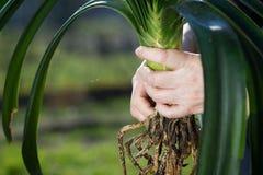 Os jardineiro entregam a beleza de transplantação flores pequenas com roo enorme Fotografia de Stock Royalty Free