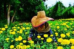 Os jardineiro mantêm o cravo-de-defunto Imagem de Stock