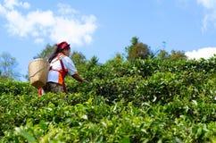Os jardineiro recolhem as folhas de ch fotografia de stock royalty free