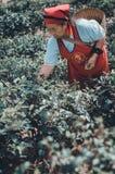 Os jardineiro recolhem as folhas de ch? imagens de stock