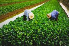 Os jardineiro vegetais de Tailândia Imagens de Stock