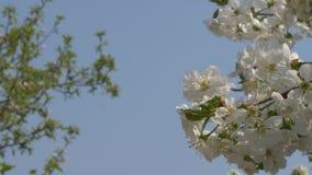 Os jardins da mola est?o florescendo Ramifique com flores video estoque