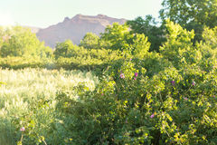 Os jardins das rosas no ` Gouna de Kalaat M, Marrocos Fotos de Stock