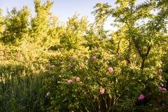 Os jardins das rosas no ` Gouna de Kalaat M, Marrocos Fotografia de Stock