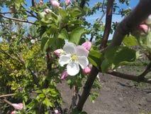 Os jardins, plantas, jardim de florescência, árvores florescem, os botões, flor branca, mola, agricultura fotografia de stock