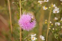 Os joelhos da abelha imagens de stock