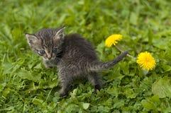 Os jogos do gatinho em uma grama Imagens de Stock