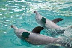 Os jogos do golfinho Fotos de Stock Royalty Free