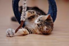 Os jogos multi-coloridos domésticos do gatinho Imagem de Stock Royalty Free