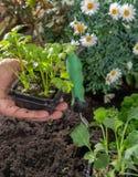 Os jovens brotam o aipo plantado na terra no jardim Fotografia de Stock