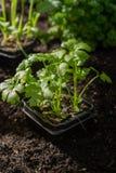 Os jovens brotam o aipo plantado na terra no jardim Foto de Stock