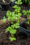 Os jovens brotam o aipo plantado na terra no jardim Imagens de Stock