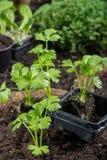 Os jovens brotam o aipo plantado na terra no jardim Imagem de Stock