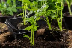 Os jovens brotam o aipo plantado na terra no jardim Foto de Stock Royalty Free