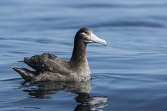 Os jovens curto-ataram o albatroz que senta-se no verão d da água do oceano Imagens de Stock