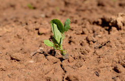 Os jovens da grama da curva da semente que crescem a colheita à terra da exploração agrícola orgânica da terra crescem a agricult Imagem de Stock