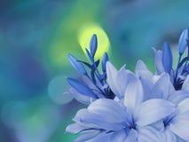 os lírios Branco-azuis florescem, no fundo borrado brilhante com turquesa redonda, destaques do amarelo closeup COM floral brilha Imagens de Stock Royalty Free