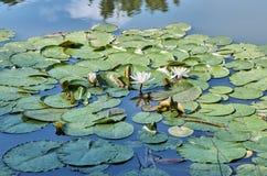 Os lírios de água brancos e cor-de-rosa com verde deixam a florescência no la Fotografia de Stock