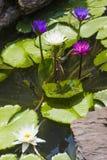 Os lírios de água coloridos fecham-se acima Fotos de Stock Royalty Free