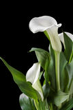 Os lírios de calla brancos bonitos com verde saem sobre o fundo preto Foto de Stock