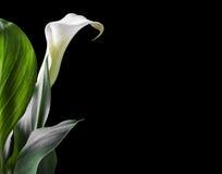 Os lírios de calla brancos bonitos com verde saem sobre o fundo preto Fotografia de Stock Royalty Free