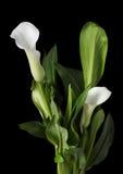 Os lírios de calla brancos bonitos com verde saem sobre o fundo preto Foto de Stock Royalty Free