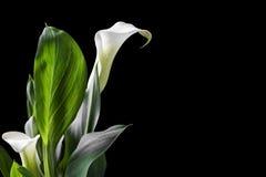 Os lírios de calla brancos bonitos com verde saem sobre o fundo preto Imagens de Stock Royalty Free
