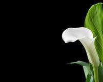 Os lírios de calla brancos bonitos com verde saem sobre o fundo preto Fotos de Stock
