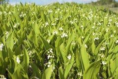 Os lírios do vale florescem em um monte Fotografia de Stock