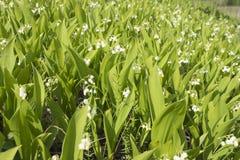 Os lírios do vale florescem em um monte Imagens de Stock Royalty Free