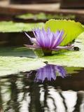 Os lótus azuis/lírio de água com verde saem na lagoa Imagem de Stock Royalty Free