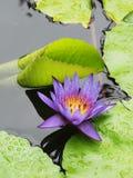 Os lótus azuis/lírio de água com verde saem na lagoa Fotos de Stock Royalty Free