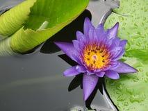 Os lótus azuis/lírio de água com verde saem na lagoa Imagens de Stock Royalty Free
