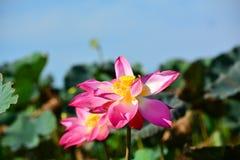 Os lótus de florescência Foto de Stock