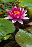 Os lótus florescem na lagoa (3) Fotos de Stock Royalty Free
