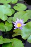 Os lótus florescem na lagoa Foto de Stock