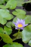 Os lótus florescem na lagoa Imagem de Stock Royalty Free