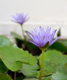 Os lótus florescem na lagoa Foto de Stock Royalty Free