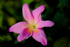 Os lótus são flor e fundo isolado da natureza da água Fotografia de Stock Royalty Free