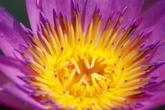 Os lótus violetas Imagem de Stock